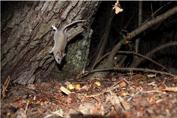 Camera-trap image of a grey dormouse with a long tail running down a tree.