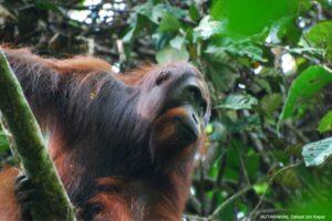 Adult male Orang-utan in Kinabatangan.Credit: HUTAN-Mohd Daisah Kapar