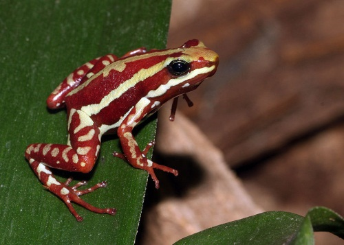 Phantasmal Poison Frog, dark red with white stripes.