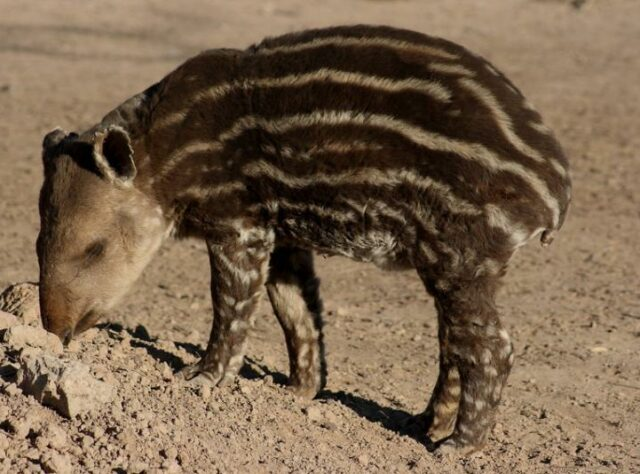 A young South American Tapir