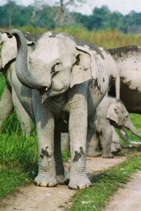 Herd of Indian Elephants in India.