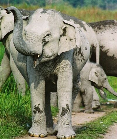 Herd of Indian Elephants in India.