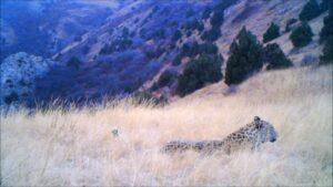 Still from camera-trap video: leopard lying in long grass