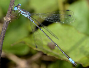 Photograph of Lestes pictus damselfly.