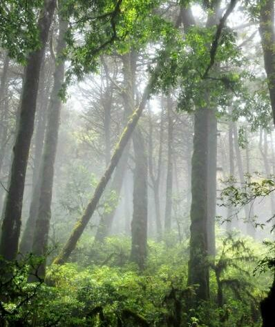 Trees in mist, Sierra Gorda Mexico