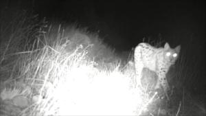Eurasian Lynx - Armenia