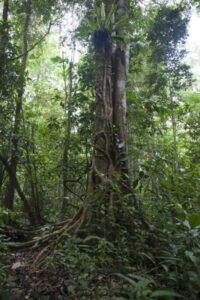 Borneo rainforest tree.
