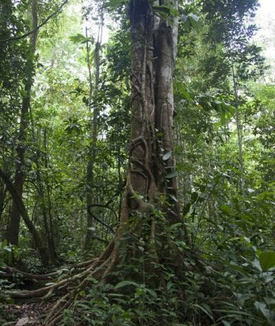 Borneo rainforest tree.