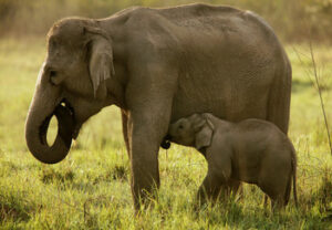 A female elephant suckles her young calf in a protected area in Jim Corbett National Park of northern India.