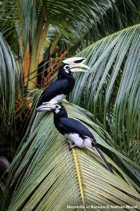 Pair of Asian Pied Hornbills sitting in a palm tree (not oil palm) in Borneo.