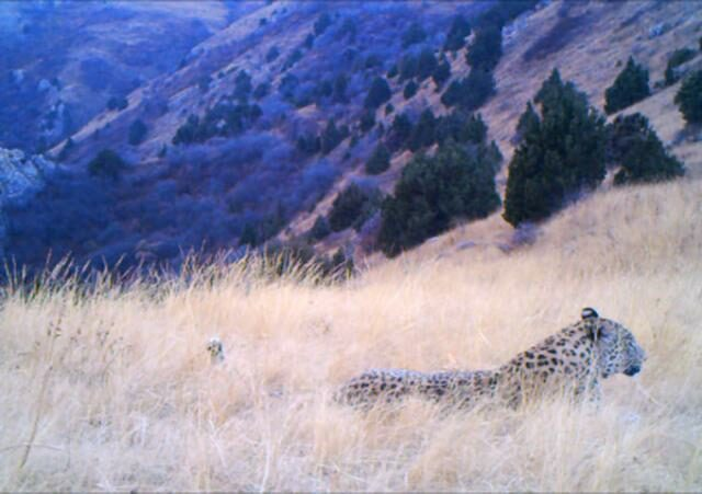 Caucasian Leopard lying in long grass, a still from a camera-trap video.