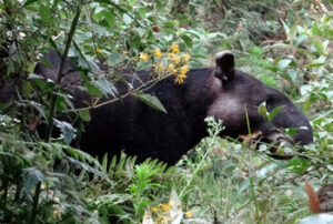 Tapir in undergrowth
