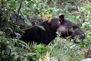 Tapir in undergrowth