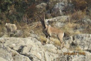 Male Bezoar Goat in the rocky landscape of the Caucasus Wildlife Refuge.