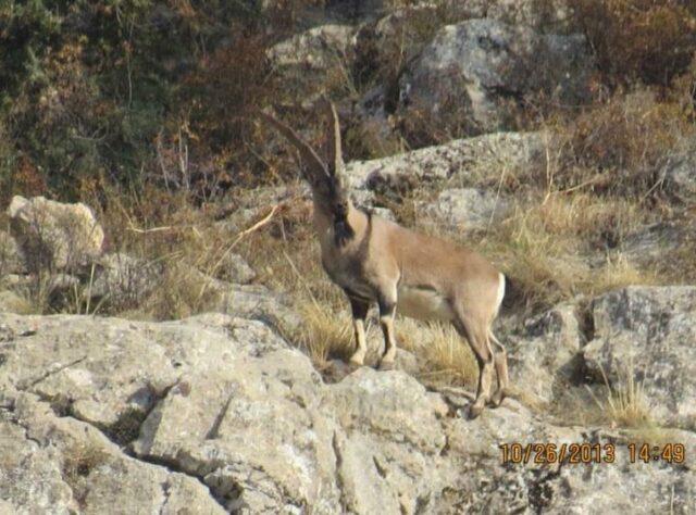 Male Bezoar Goat in the rocky landscape of the Caucasus Wildlife Refuge.
