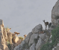 Bezoar Goats in Caucasus Wildlife Refuge