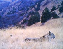 Caucasian Leopard lying in long grass, a still from a camera-trap video.