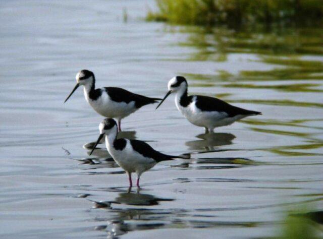Three White-backed Stilts wading through water.