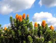A species of orange flowering Chuquiraga found in páramo grassland, Peru.