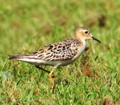 Buff-breasted Sandpiper in grassland.