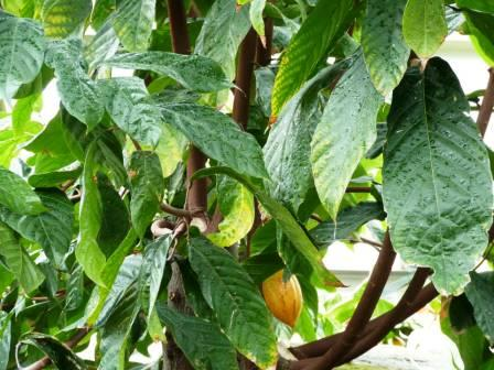 Leaves and pod of a Cocoa Tree at Kew Gardens.