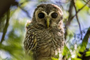 Chaco Owl.