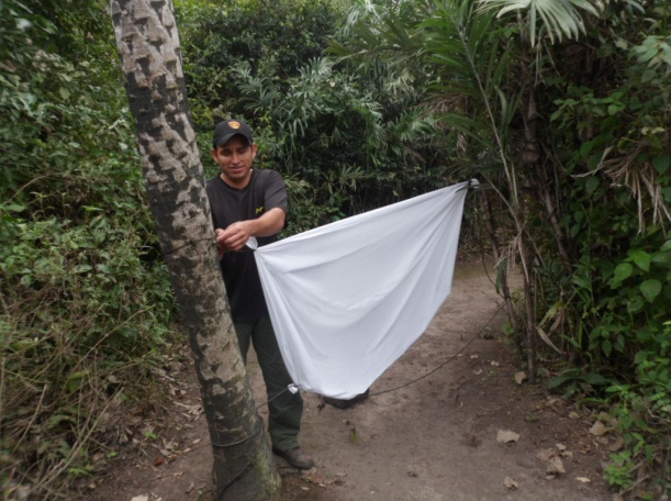 Ranger Edenilson hangs a white sheet between two trees (a moth wall)