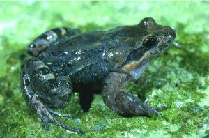 Honduran White-lipped Frog