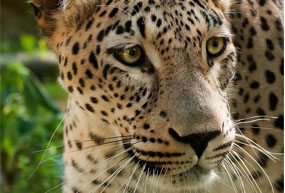 Close up of a Caucasian Leopard.