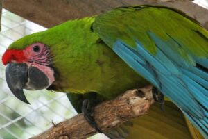 Great Green Macaw.