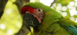 Great Green Macaw in Cerro-Blanco Reserve, Ecuador
