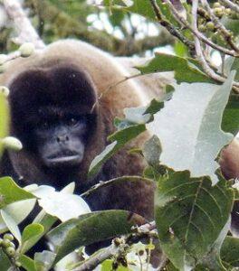Woolly Monkey in leaves.