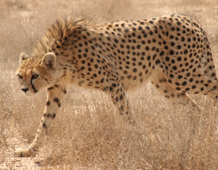 Cheetah prowling through dried grass.