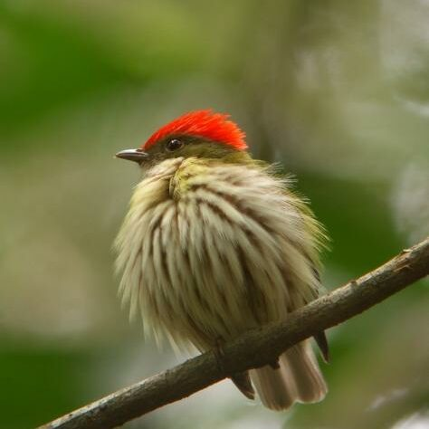 Eastern Striped Manakin