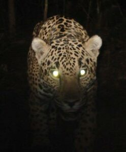 Close up of a Jaguar at night, a detail of a camera-trap image from Sierra Gorda.