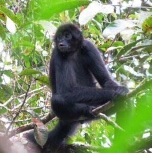 Black-headed Spider Monkey in a tree.