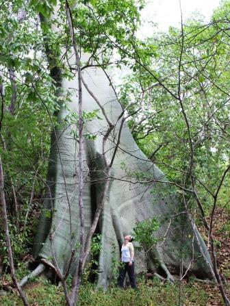 Lisa Britton stands underneath an enormous Ceiba tree in Ecuador.