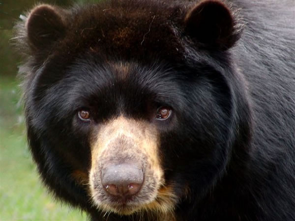 Spectacled Bear in Colombia
