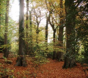 Autumn beech trees at Kites Hill.