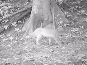 Camera trap footage of Puma in the Guapi Assu reserve