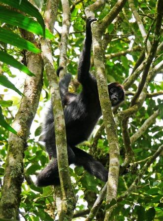 Brown-headed Spider Monkey.