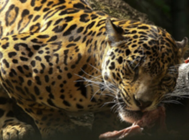 If WLT is able to fund more land purchase in the Chocó then more potential habitat for Jaguars will be saved.