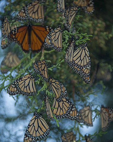 Monarch Butterflies in Sierra Gorda.