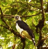 Harpy Eagle looking out from a forest tree.