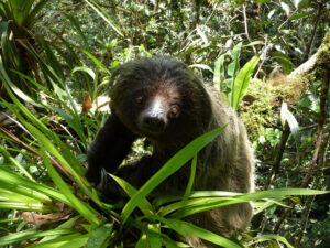Linné's Two Toed Sloth