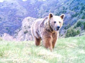 Syrian Brown Bear, trail camera image. © FPWC.