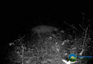 Trail camera image of a Jaguar at night in Sierra Gorda.