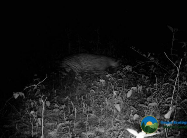 Trail camera image of a Jaguar at night in Sierra Gorda.