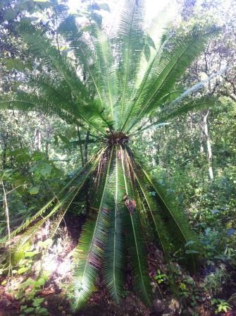 Cycad in Las Arenitas Reserve.