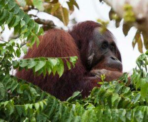 Orang-utan in trees, Sabah.